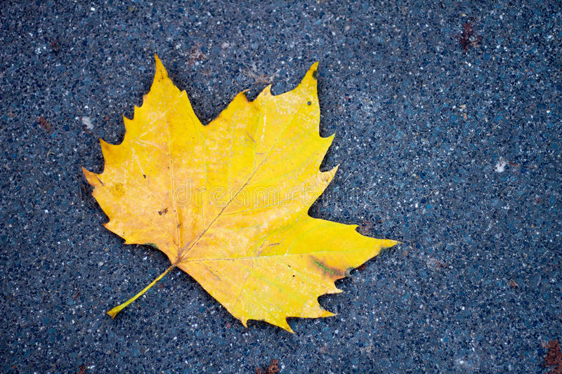 Yellow maple leaf on the road stock photos