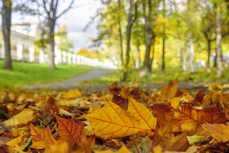 Yellow maple leaves in autumn park. Coloured maple leaves in autumn park. View from frog perspective stock photography
