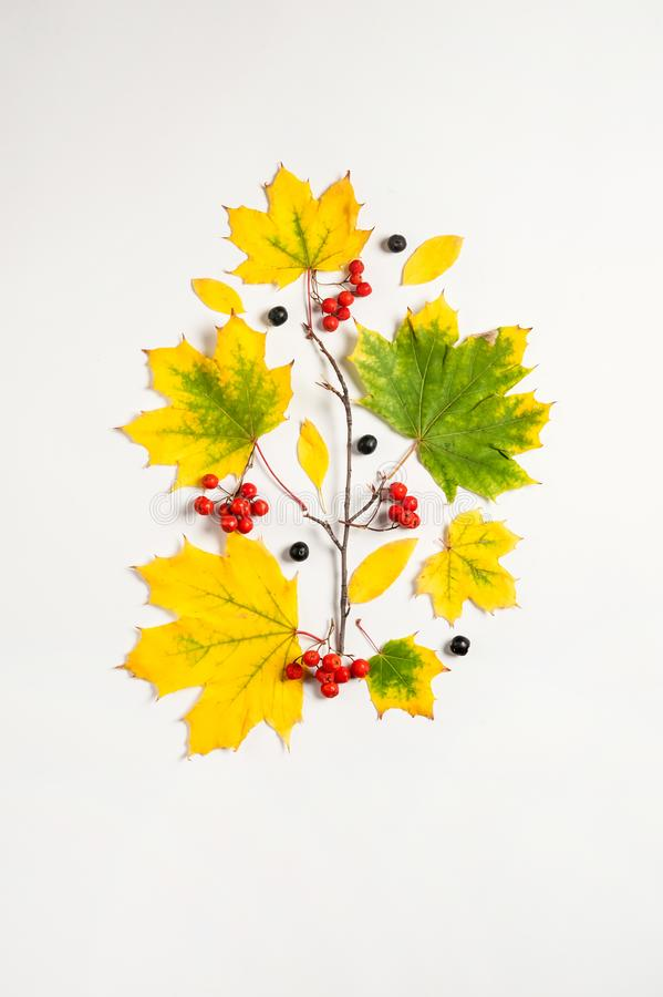 Yellow maple leaves, branch, red and black Rowan berries on a white background. stock photos