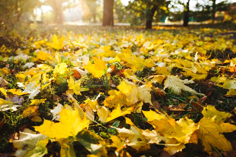 Yellow maple leaves cover the ground on a sunny autumn day. Wide angle photo.  royalty free stock photo