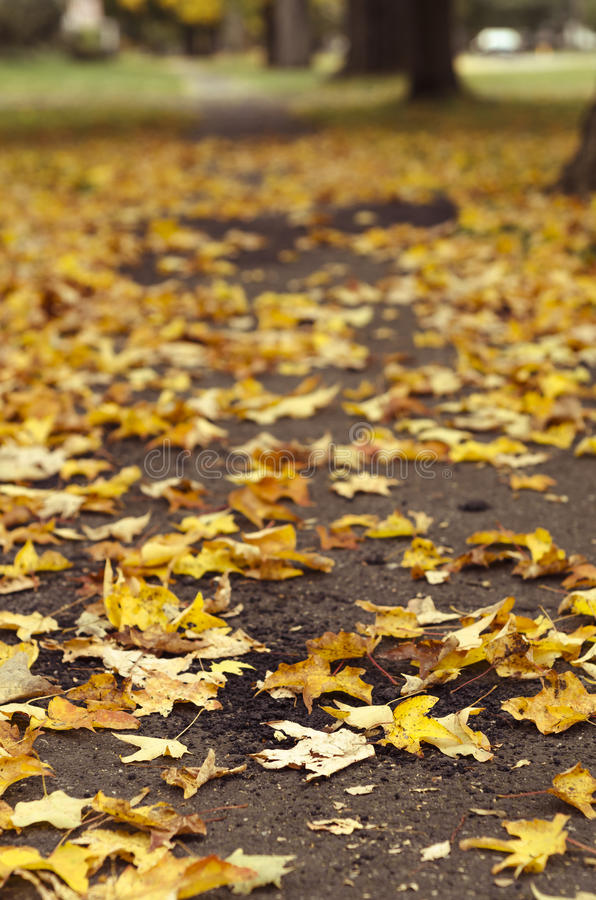Yellow maple leaves fallen on ground stock photography