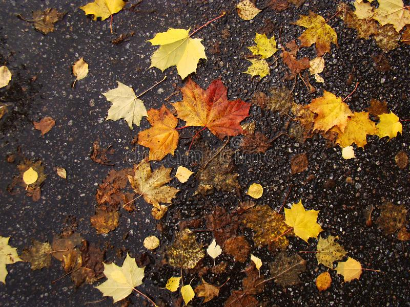 Autumn wet leaves lie on a background of dark asphalt. royalty free stock photography