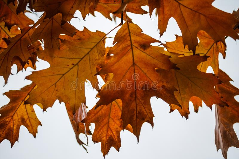 Yellow maple leaves hang from a tree royalty free stock images