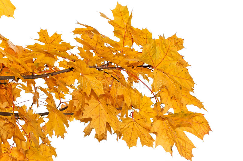 Download Yellow Maple Leaves Isolated Stock Image - Image of seasonal, branch: 21779705