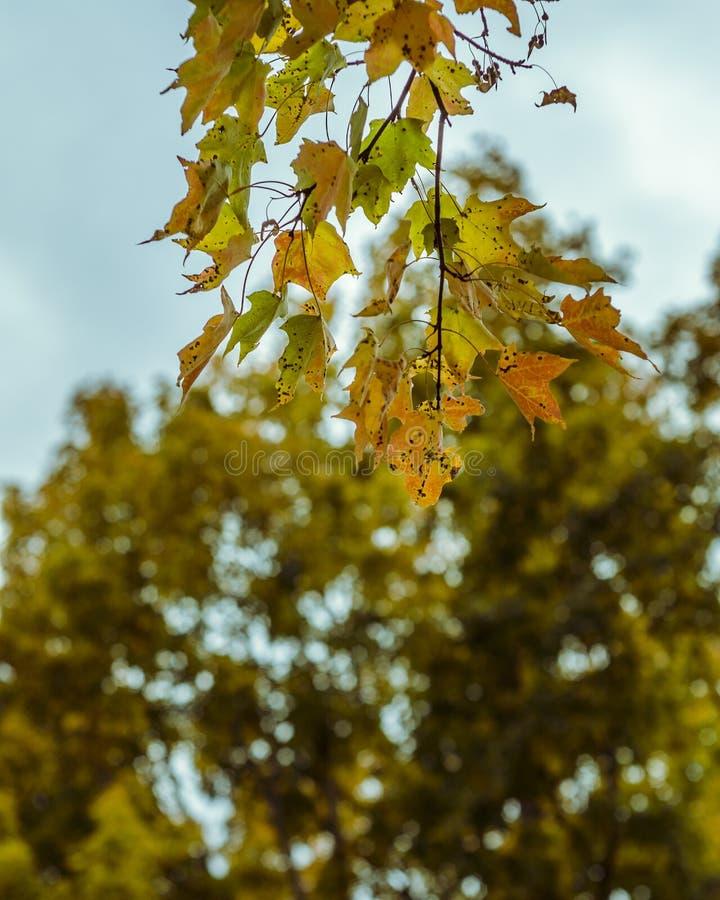 Yellow maple leaves on tree stock photos