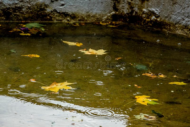 Yellow maple leaves in the water of the river during the rain. A. Utumn rainy day royalty free stock image