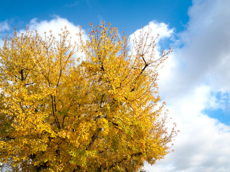 Yellow maple tree with beautiful clouds and blue sky stock image