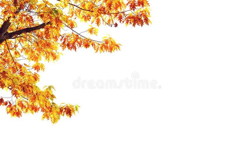 Yellow maple tree isolated on white royalty free stock photo