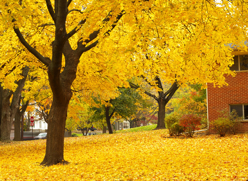 Yellow maple tree landscapes royalty free stock photo