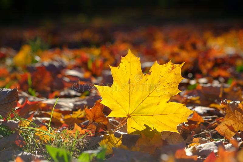Yellow maple tree leaf in grass in autumn, fall stock images