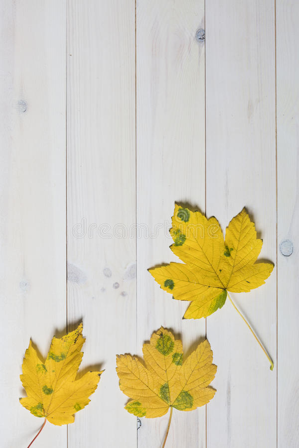 yellow maple tree leafs with green spots on a white wooden background stock image