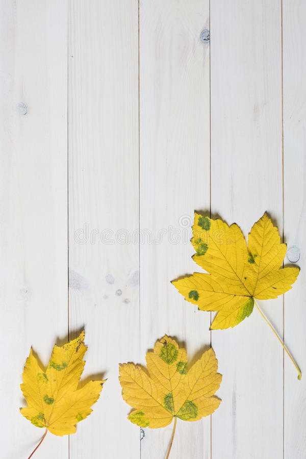 Yellow maple tree leafs royalty free stock images