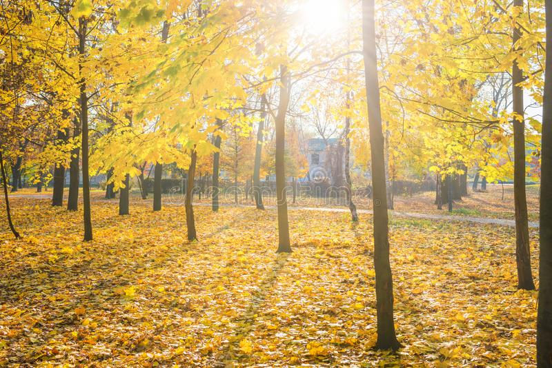 Yellow maple trees in city park. With fallen leaves at bright autumn day stock image