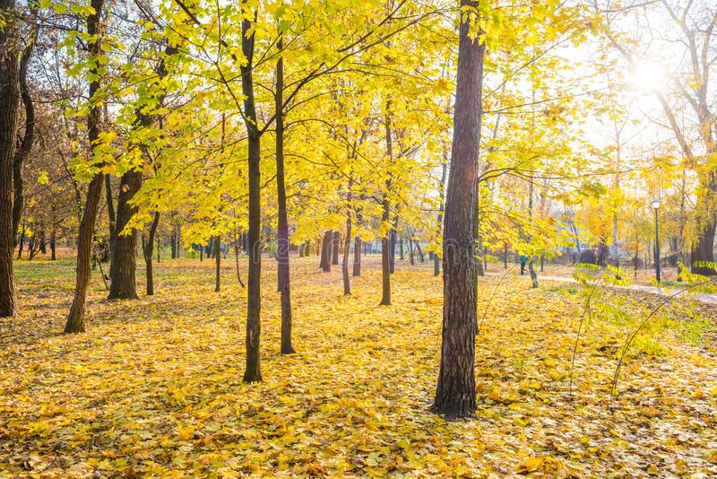 Yellow maple trees in city park. With fallen leaves at bright autumn day stock photography