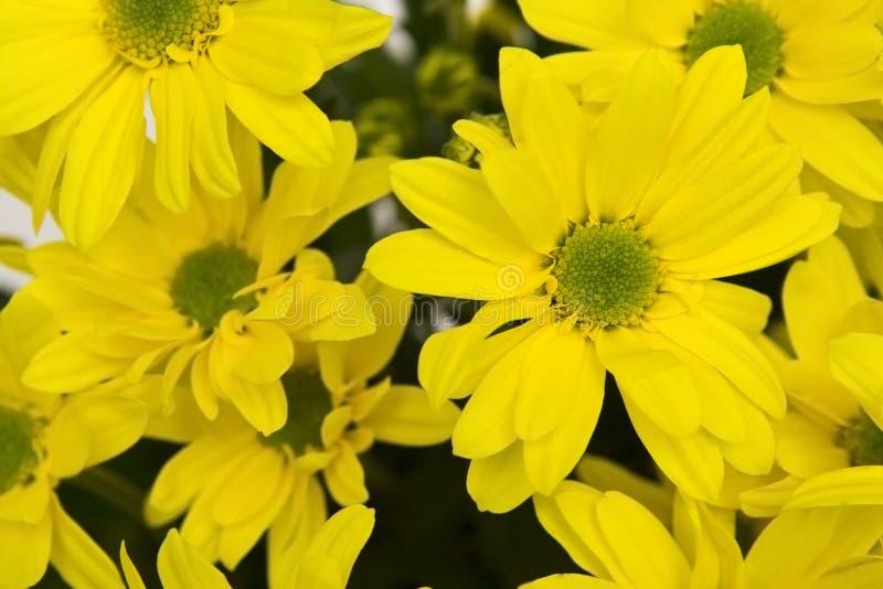 Yellow marguerites stock photo