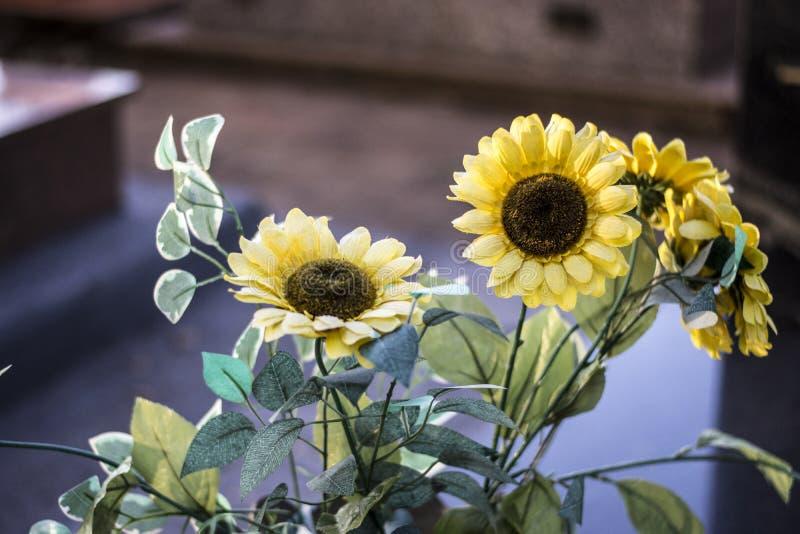 Yellow Marguerites. Beautiful Yellow Marguerites Shinning Bright stock photos