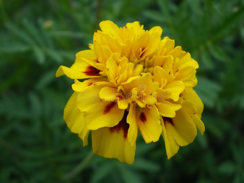 Yellow marigold flower close up on green background royalty free stock photos