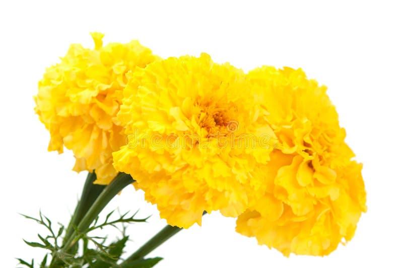 Yellow marigold flower isolated royalty free stock photo
