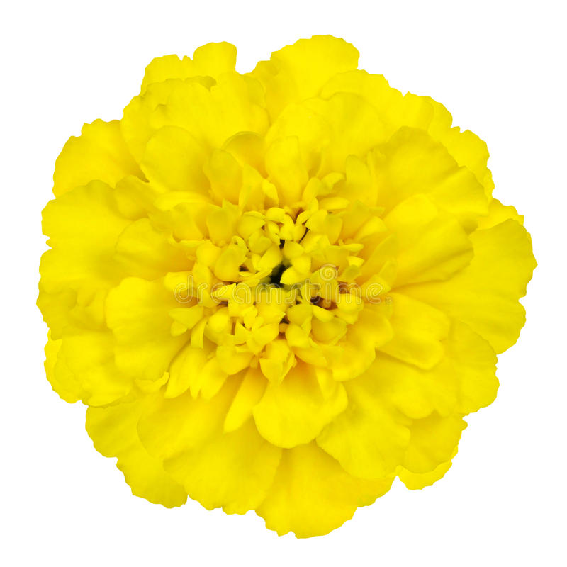 Download Yellow Marigold Flower Isolated On White Background Stock Image - Image: 37349987