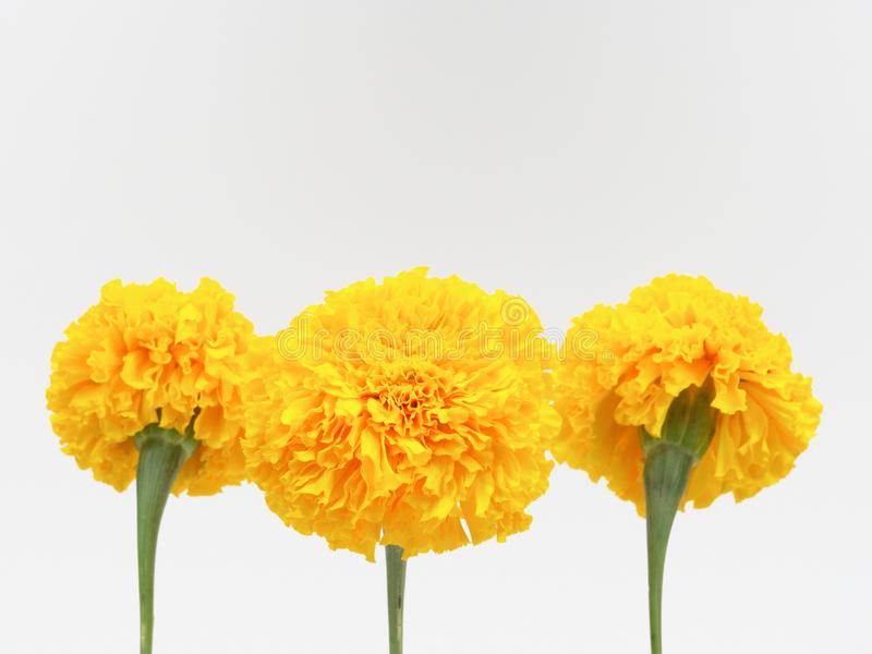 Yellow marigold flower isolated on white background stock photos