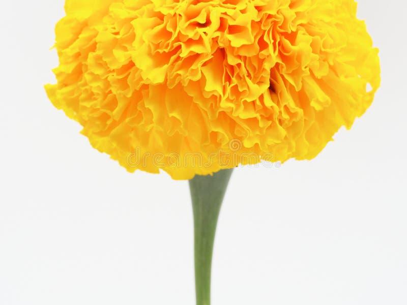 Yellow marigold flower isolated on white background stock image download yellow marigold flower isolated on white background stock image image of beauty florist mightylinksfo