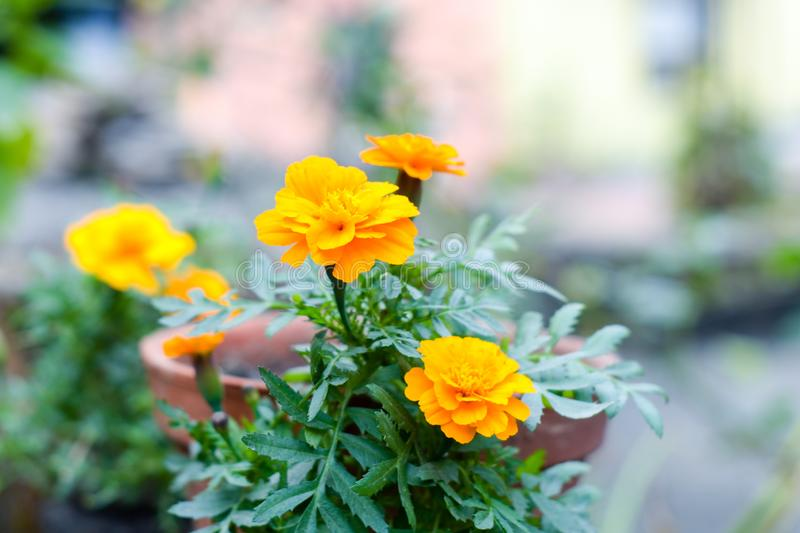Yellow marigold flower plant in garden front or back yard. A herbaceous plants in the sunflower family. Normally blooms naturally. In golden, orange, yellow royalty free stock photography