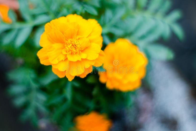 Yellow marigold flower plant in garden front or back yard. A herbaceous plants in the sunflower family. Normally blooms naturally. In golden, orange, yellow stock photos