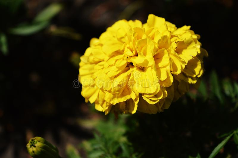 Yellow marigold flower. Sunny flower. Tagétes pátula. The real beauty of nature. Yellow marigold flower. Sunny flower. Tagétes pátula royalty free stock photos