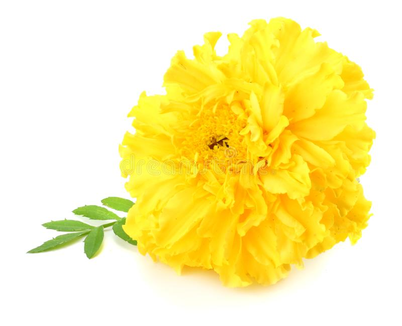 Yellow Marigold flower, Tagetes erecta, Mexican marigold, Aztec marigold, African marigold isolated on white background stock photos