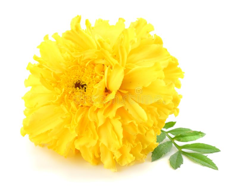 yellow Marigold flower, Tagetes erecta, Mexican marigold, Aztec marigold, African marigold isolated on white background royalty free stock image
