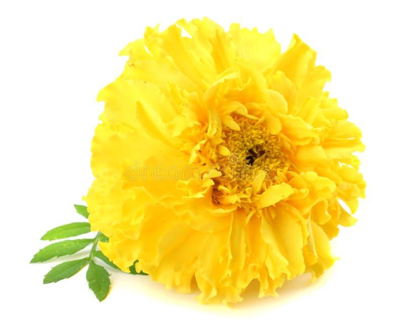 yellow Marigold flower, Tagetes erecta, Mexican marigold, Aztec marigold, African marigold isolated on white background stock photos