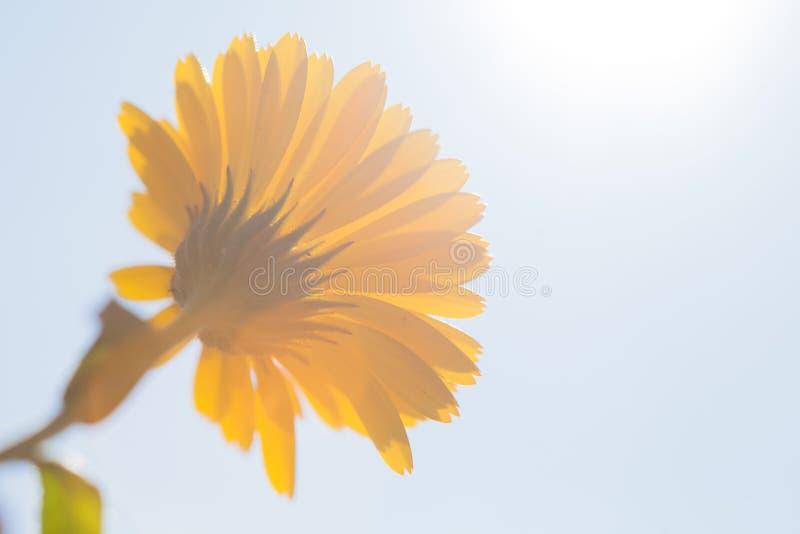 A yellow marigold flower stock photo
