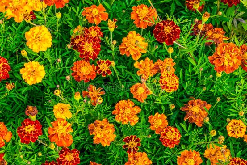 Yellow marigold flowers background marigold flowers field stock download yellow marigold flowers background marigold flowers field stock photo image of botany mightylinksfo