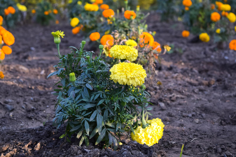 Yellow Marigold flowers. Beautiful marigold flowers blossoming in spring season stock photos