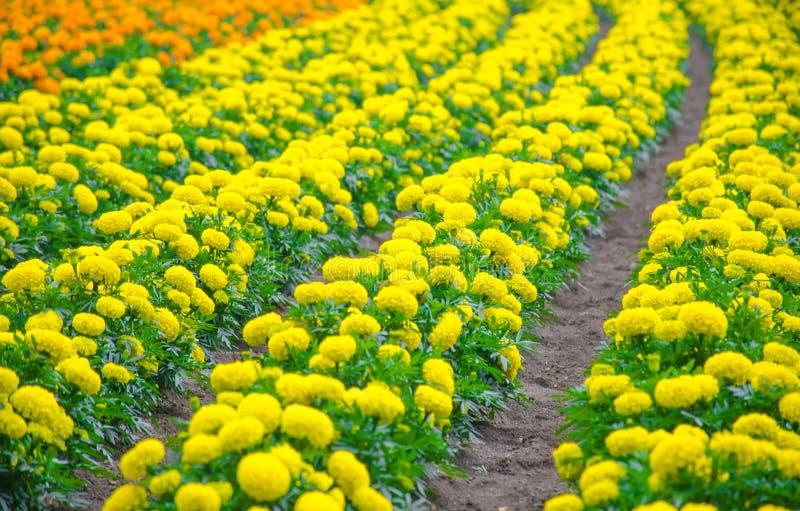 Yellow marigold meadow garden royalty free stock photography