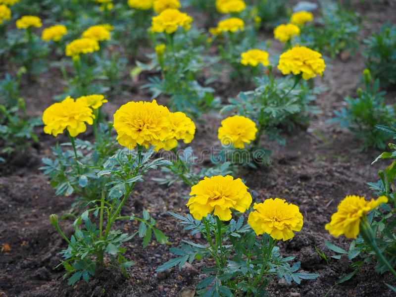 Yellow marigold Tagetes flowers on the flowerbed close up royalty free stock image