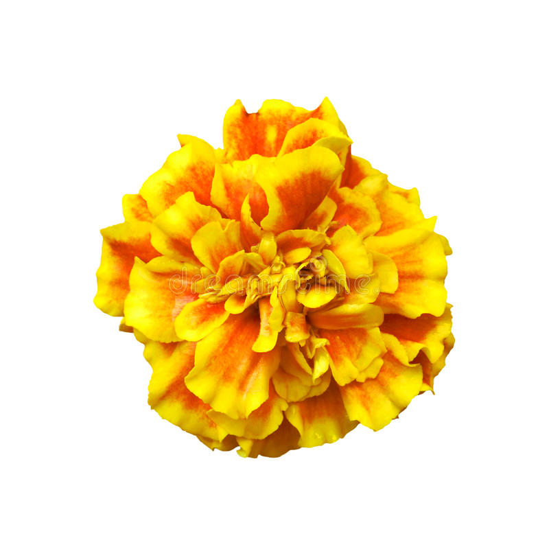Yellow Marigolds flower stock images