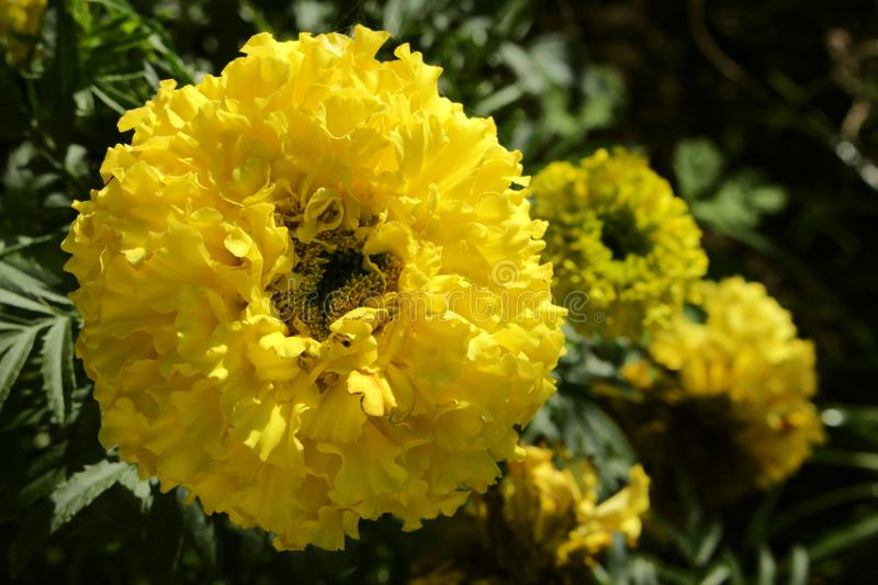 Yellow marigolds growing in the garden. Warmed by the sun royalty free stock images