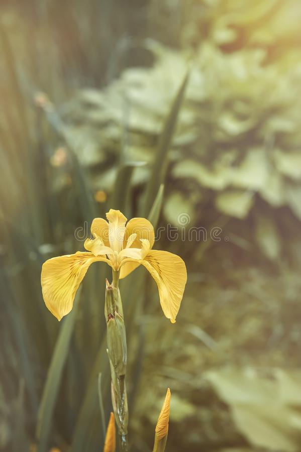 Yellow marsh iris grows in the garden on a sunny day royalty free stock photo