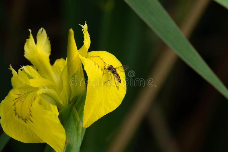 On yellow marsh iris sits a small fly royalty free stock photography