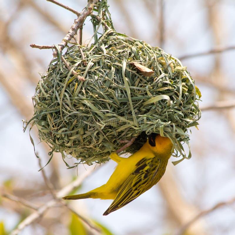 Free Yellow Masked Weaver Bird Building Nest Stock Photo - 74251940