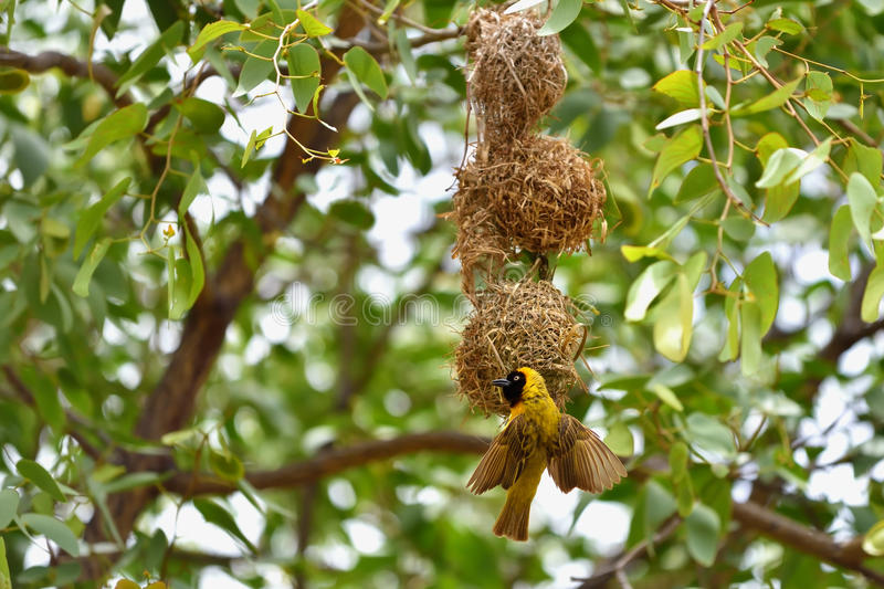Yellow Masked Weaver bird, Namibia royalty free stock photography