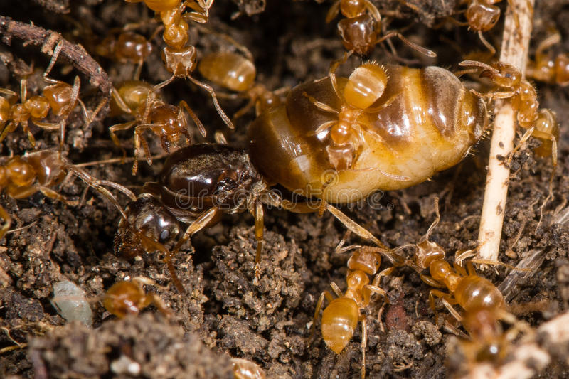 Yellow meadow ants (Lasius flavus) tending queen royalty free stock image