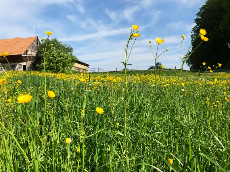 Yellow Meadow Buttercup flowers in summer. Time royalty free stock photos