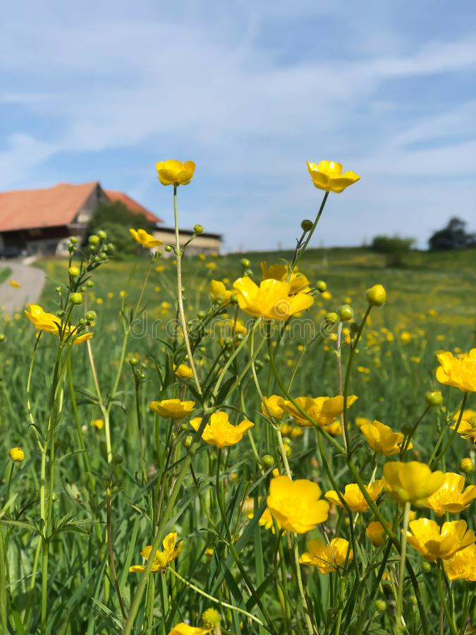 Yellow Meadow Buttercup flowers in summer. Time stock images