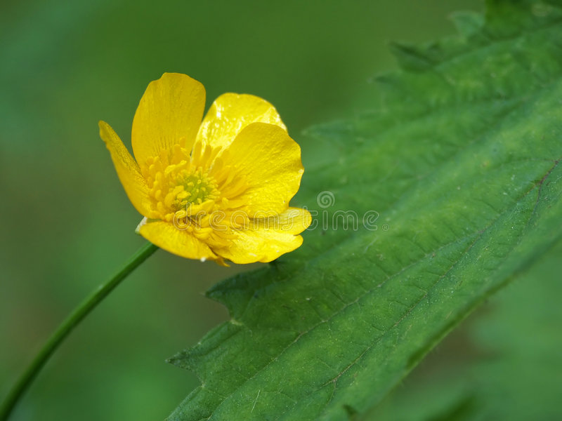 Yellow meadow flower stock images