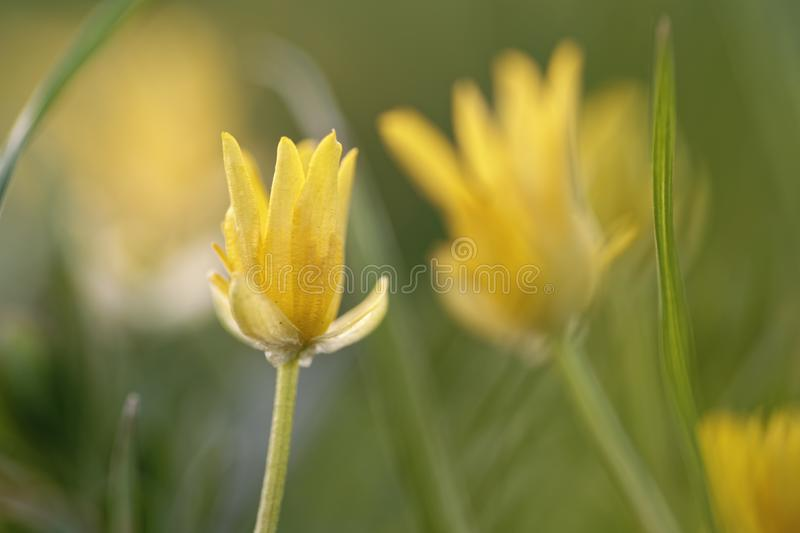 Celandine yellow flowers stock image