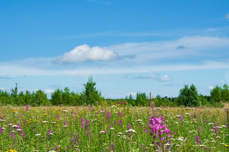 Yellow meadow, wildflowers, yarrow, cypress, grass in a meadow with green trees and white clouds in the blue sky  summer. Yellow meadow, wildflowers, yarrow stock image