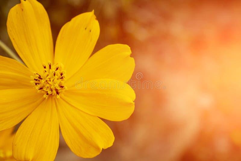 Yellow ulam raja flower stock photos