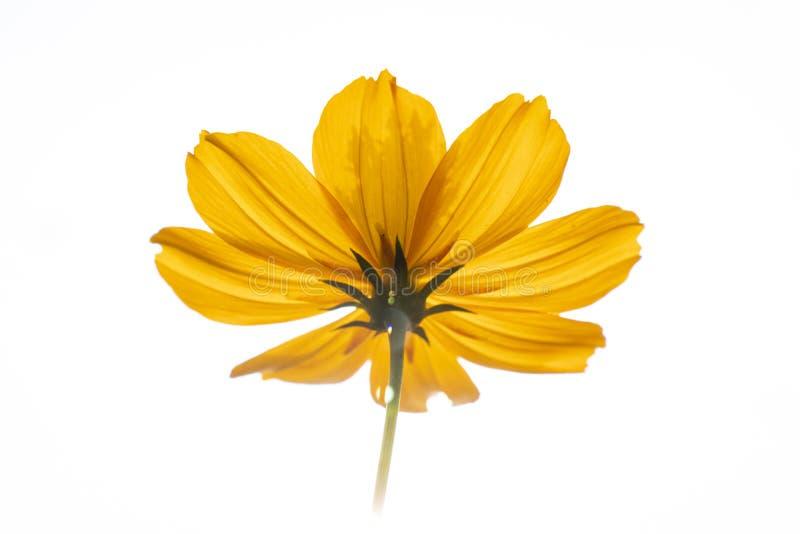 ulam raja flower stock photography